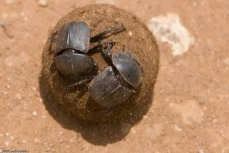 Dung Beetles on the road to speciation