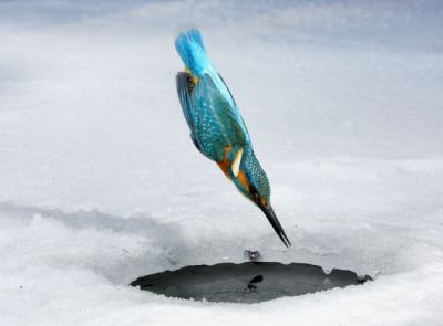 Kingfisher diving towards a hole in the ice