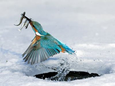Kingfisher emerging from a hole in the ice with a good catch