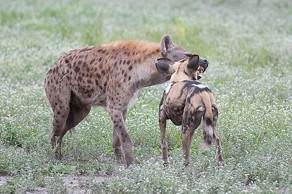 An adult wild dog on friendly terms with a hyena