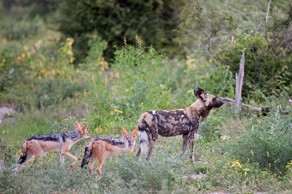 A lone adult wild dog that solicits help from jackals when hunting