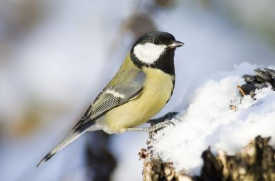 Great tits seem to benefit from hard work